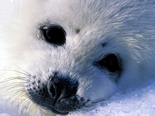 Baby-Seal-pic