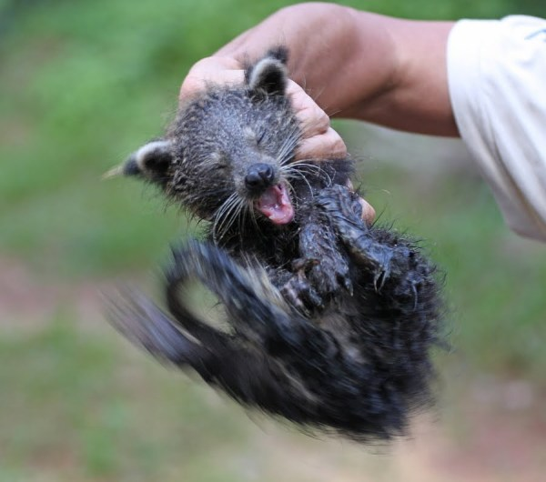 The Binturong A Sweet Smelling Tree Climber Baby Animal Zoo