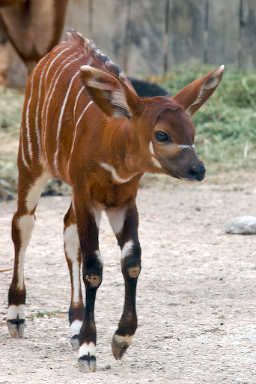 Bongos They Re Not Drums They Re Antelope Baby Animal Zoo