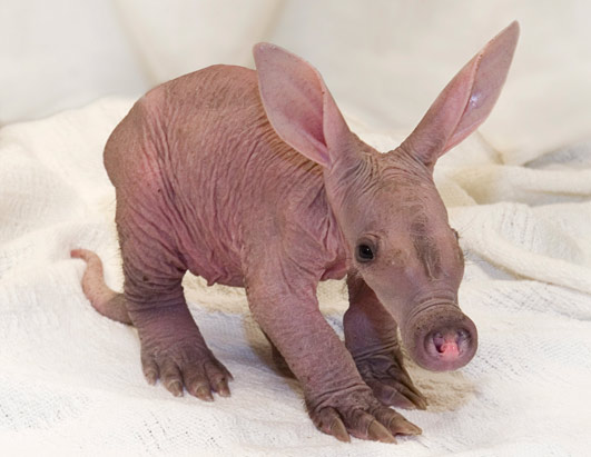 cute-baby_aardvark