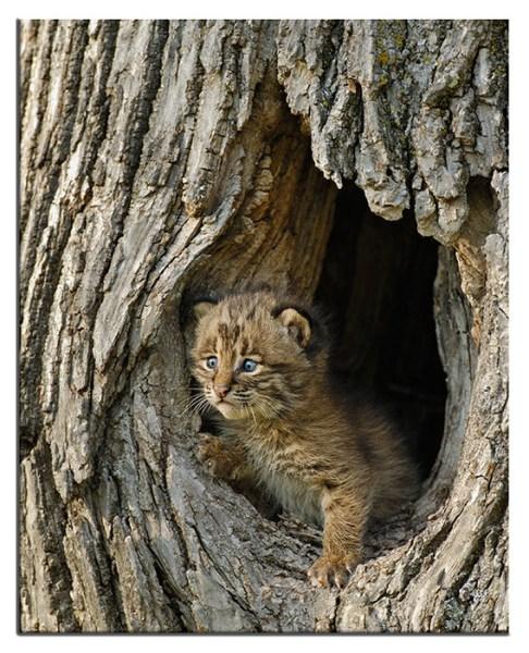 Cute baby bobcat - photo#6