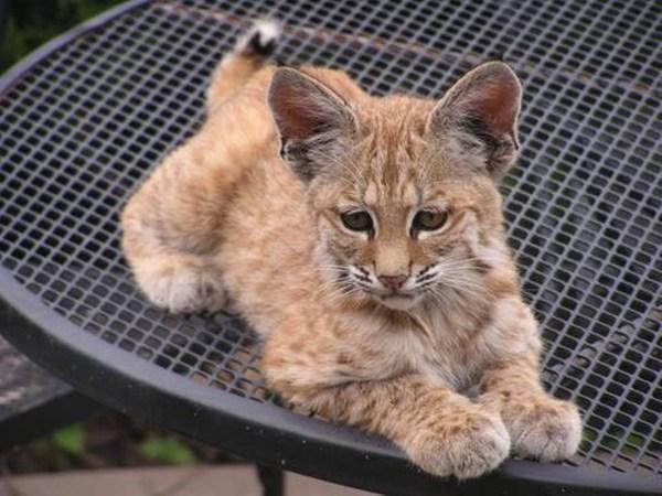 Cute baby bobcat - photo#14