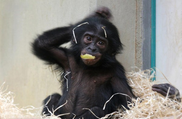 baby-bonobo3