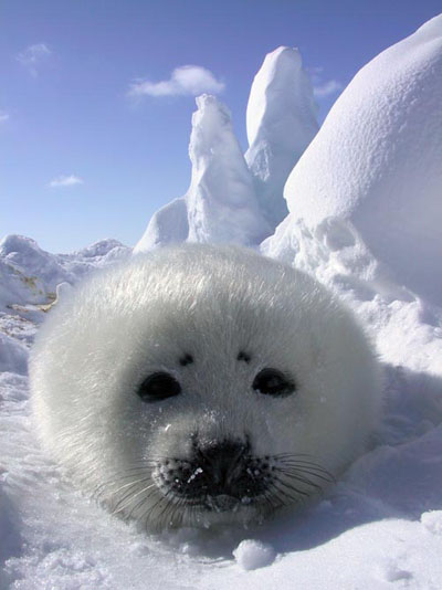 Cute Baby Harp Seal Pics Baby Animal Zoo