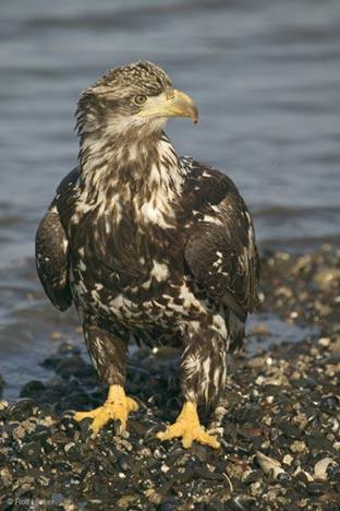baby-eagle-cute