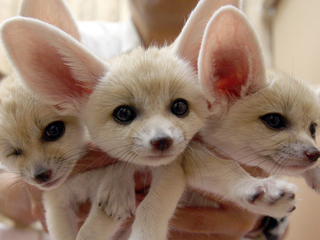 The Fennec Fox Look At Those Ears Baby Animal Zoo
