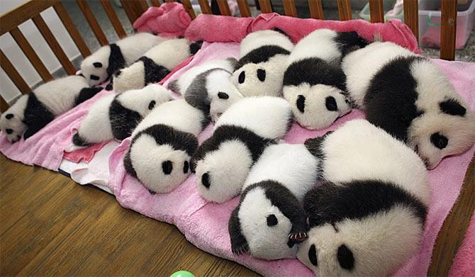 baby-panda-nap-time