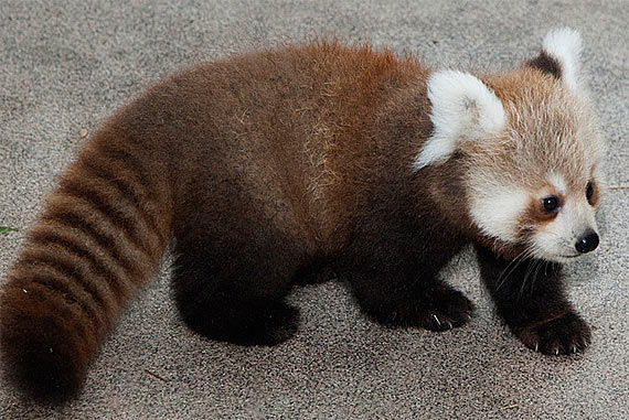 baby-red-panda