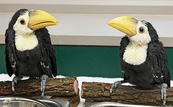 baby-toucan-chicks