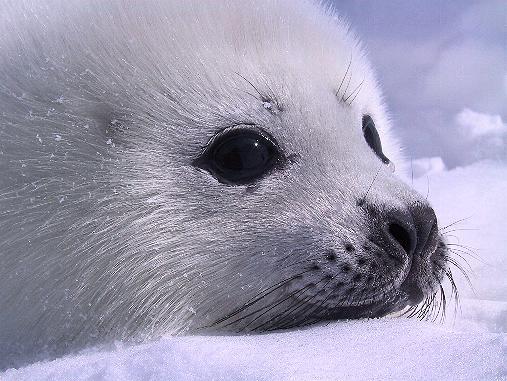Harp Seal Pups: Like Real Life Stuffed Animals | Baby ...
