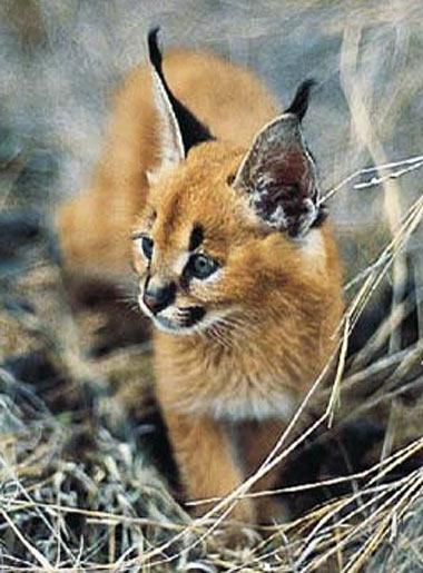Caracal Long Antenna Cat Baby Animal Zoo