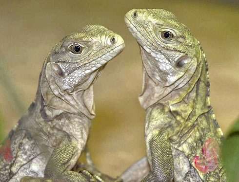grand-cayman-blue-iguanas