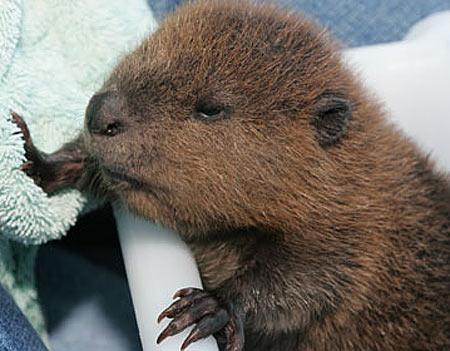 little-beaver