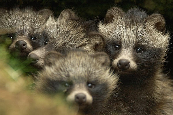 raccoon-dog-puppies