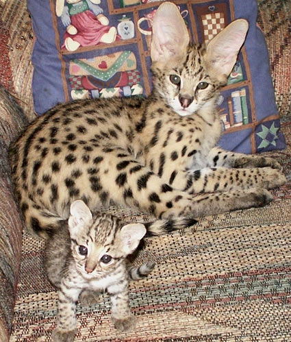 slender spotted bigeared african cat baby animal zoo