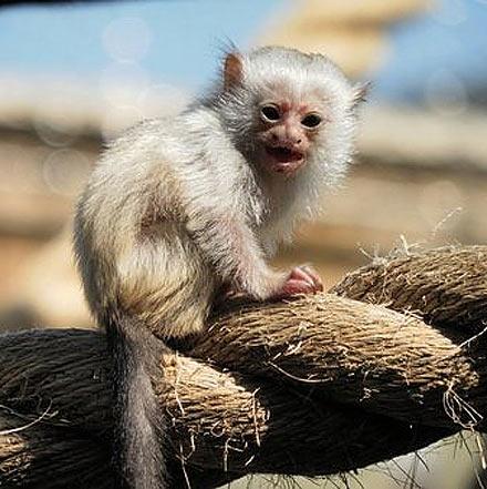 World S Smallest Monkeys Pygmy Marmoset Babies Baby