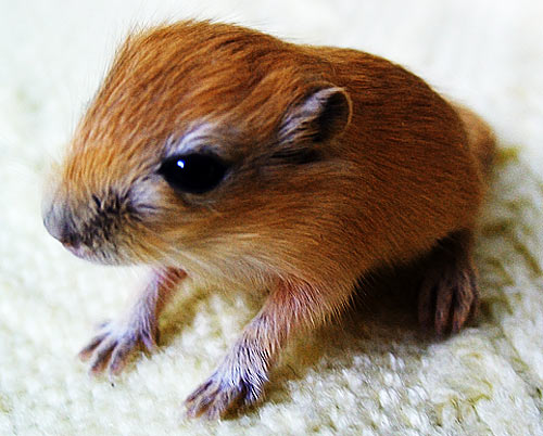 Baby Gerbils The Baby Rodents You Might Like Baby
