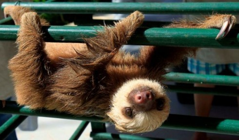 Baby-Sloth-Hanging