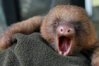 Baby Sloths Just Like To Hang Around Baby Animal Zoo