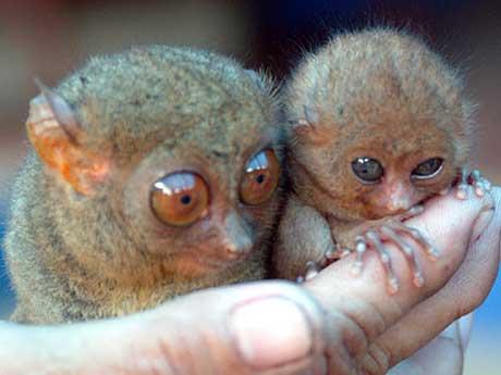 adult-baby-tarsier