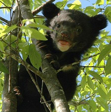 Asian Black Bear Cubs | Baby Animal Zoo