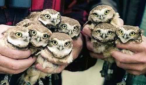 little owl poland