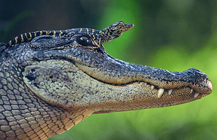 Baby Alligators Baby Animal Zoo