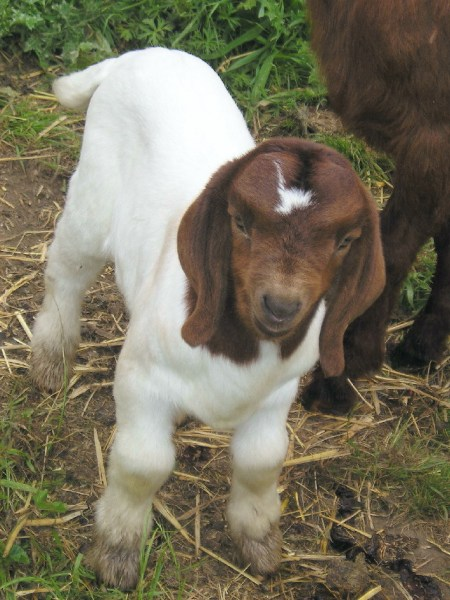 Baby Goats Are Great Kids Baby Animal Zoo