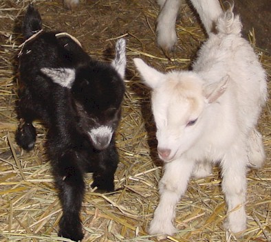 baby-goats-picture