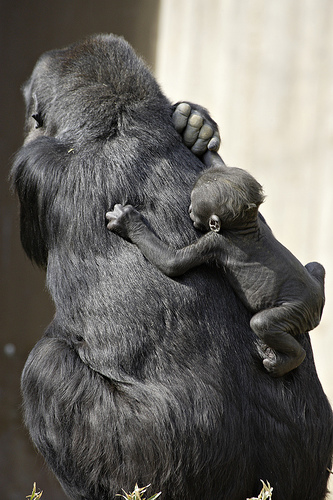 Gorillas: The Largest Primate Still Starts Out Small