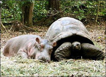 baby-hippo-tortoise