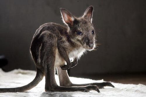 Baby Kangaroo Baby Animal Zoo