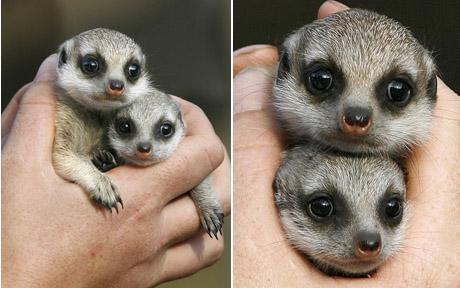 Meerkats Baby Animal Zoo
