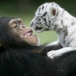 chimp-raises-tiger-cubs