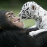 chimp-raises-tiger-cubs