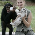chimp-raises-tiger-cubs-cute-pic