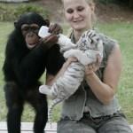 chimp-raises-tiger-cubs-cute-pic