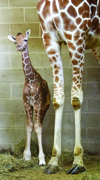 Giraffes The World S Tallest And One Of Its Cutest Baby