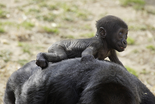 Cute baby gorilla - photo#18