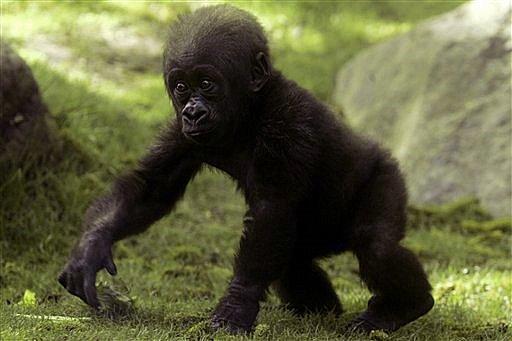 Cute baby gorilla - photo#7