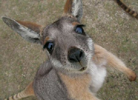 Cute Baby Images on Keep Their Babies In Pouches Cute Baby Kangaroo     Baby Animal Zoo