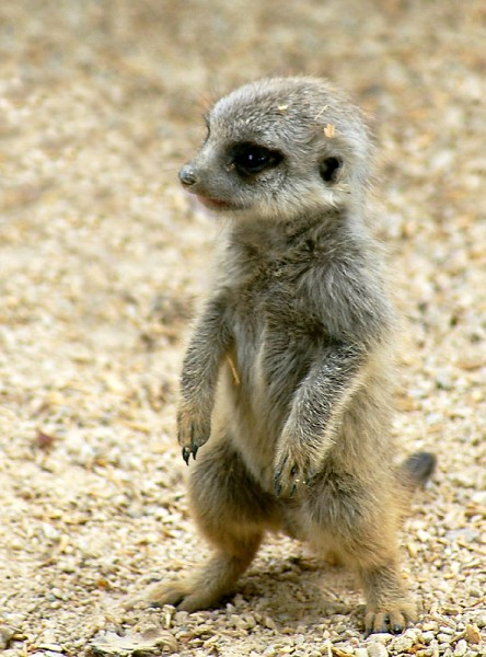 Meerkats | Baby Animal Zoo