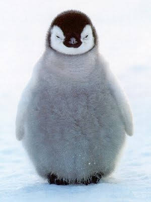 cute-baby-penguin