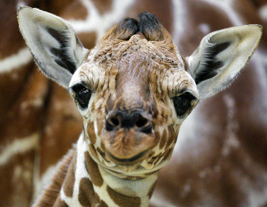 Giraffes: The World's Tallest…And One Of Its Cutest | Baby ...