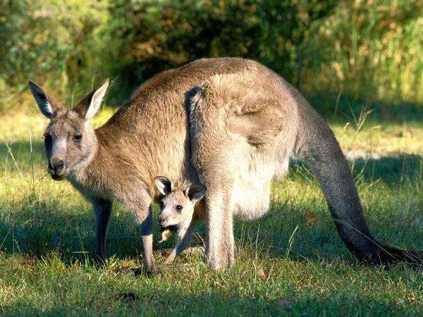 gray-kangaroo