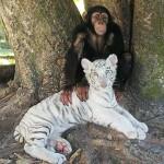 monkey-raises-tiger-cubs