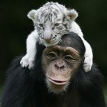 monkey-raises-tiger-cubs-cute
