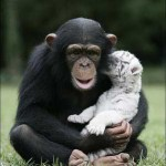 monkey-raises-tiger-cubs-cute-pic