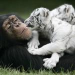 monkey-raises-tiger-cubs-cute-pics