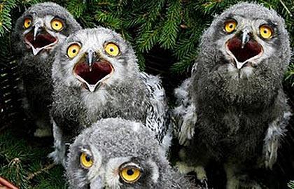 Owlets Owl Chicks Baby Owls Baby Animal Zoo